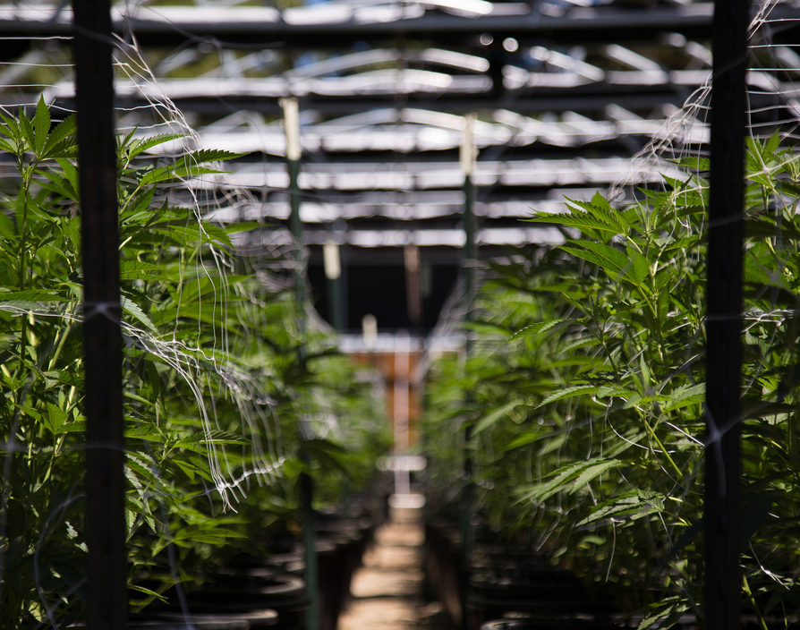 Europe's largest cannabis producer strikes £5m deal with Scotland's Always Pure Organics
